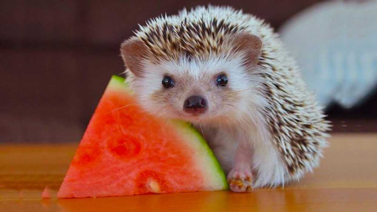 cute hedgehog posing with a slice of watermelon picture