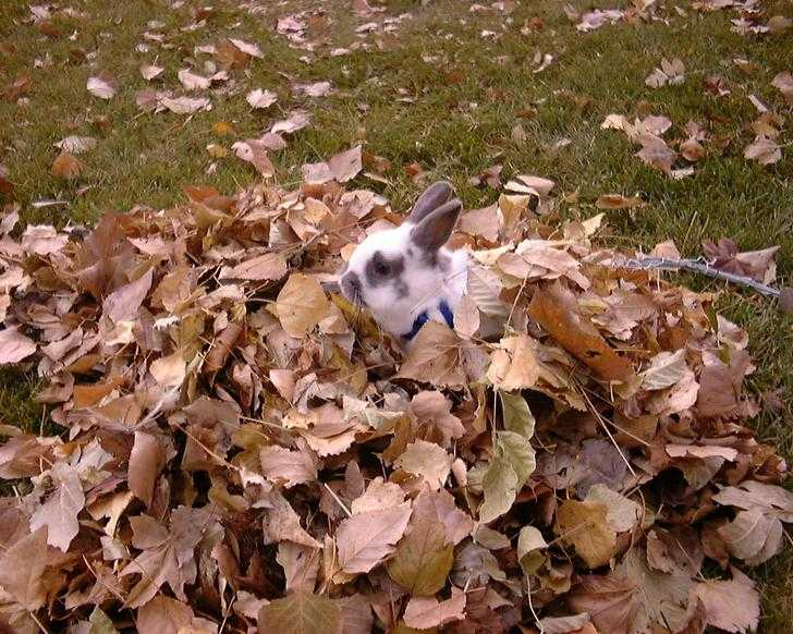 Cute fall animal images - bunny in a pile of leaves