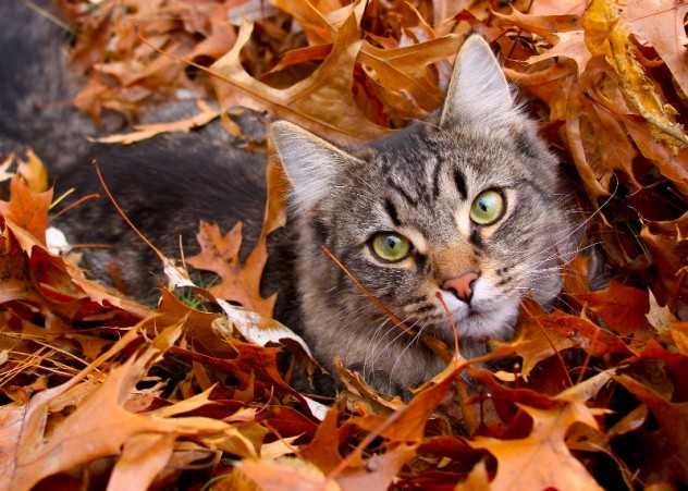 Funny fall animal pictures - cat submarining in leaves