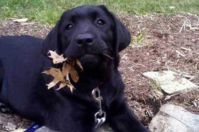 Funny fall animal memes - nothing says disappointment like this black lab