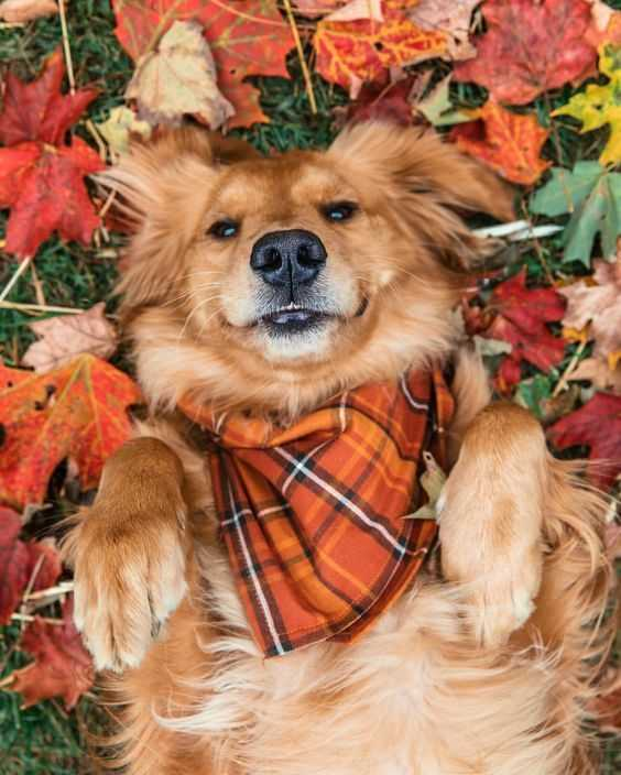 Funny fall animals - retriever lying in fall leaves with matching scarf