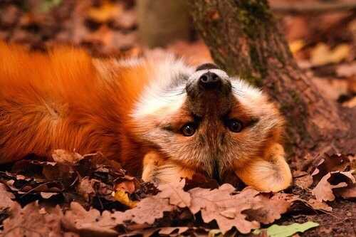 Funny fall animal pictures - fox lying on leaves playfully