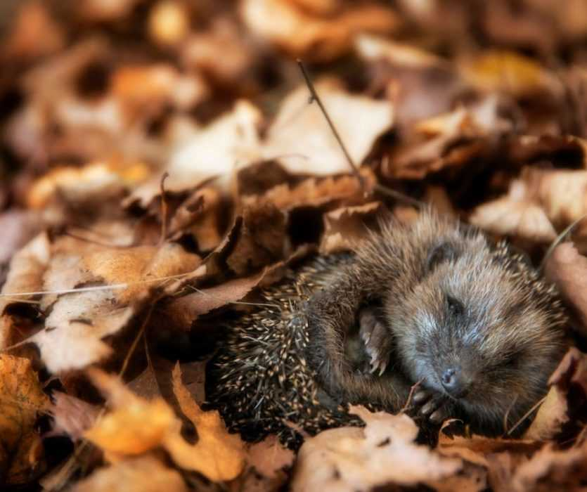 Cute fall animal images - hedgehog curled up in leaves
