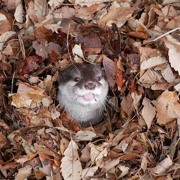 Cute fall animal pics - otter in leaf pile
