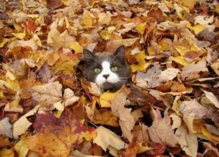 Funny fall animal images - cat surfacing after some leaf diving