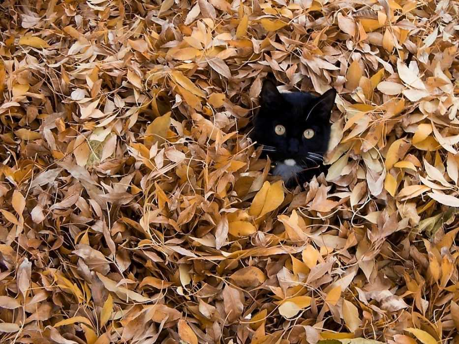 Cute fall animals wallpaper - you know halloween is coming when you see a black cat in a pile of leaves