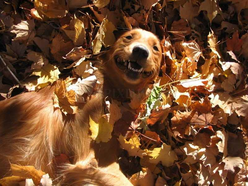 Funny fall animal pictures - dog finding it funny to be lying in leaves