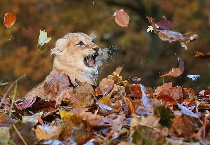 Funny fall animal pictures - this lion cub is learning to repel attacks from above