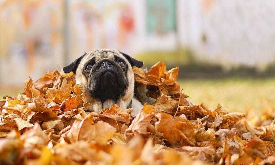 Cute fall animals wallpaper - leaf diving dog
