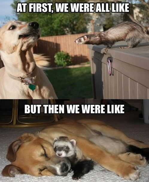 Ferret And Dog Becoming Best Friends