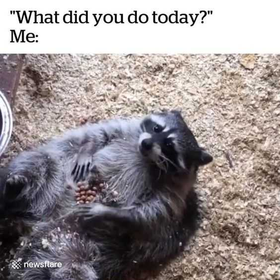 Racoon Lying On Back With Kibbles On His Belly