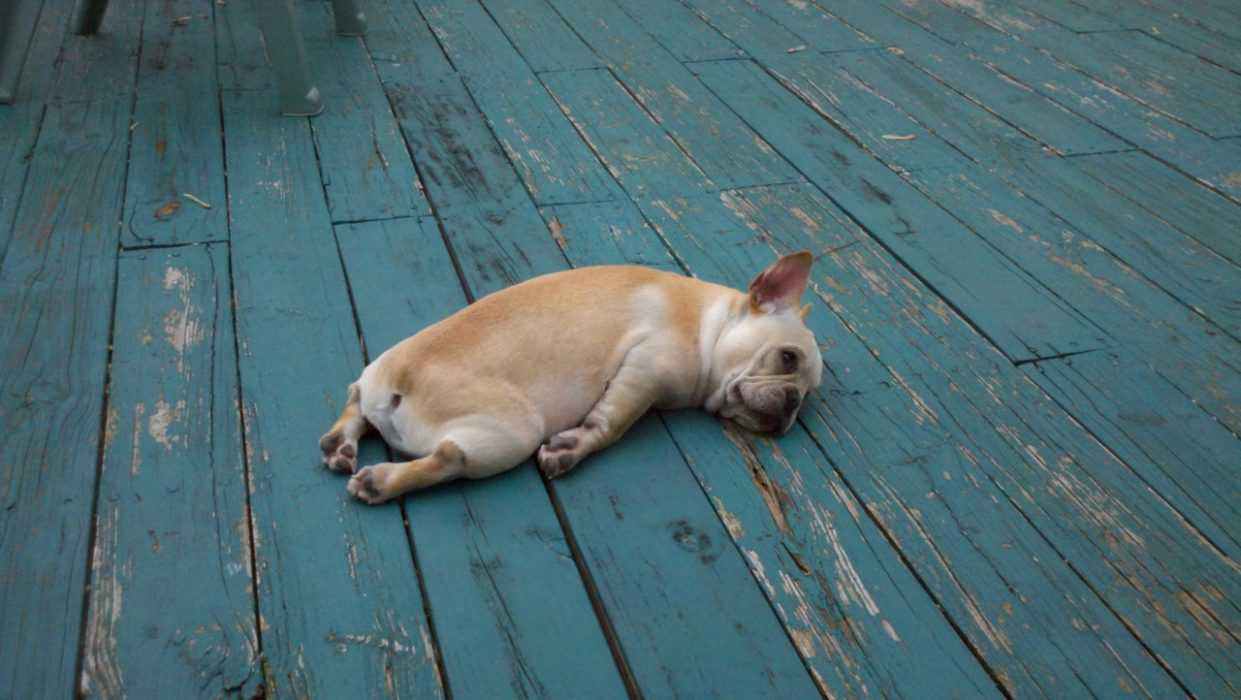Cutest Animal Pictures - French bulldog