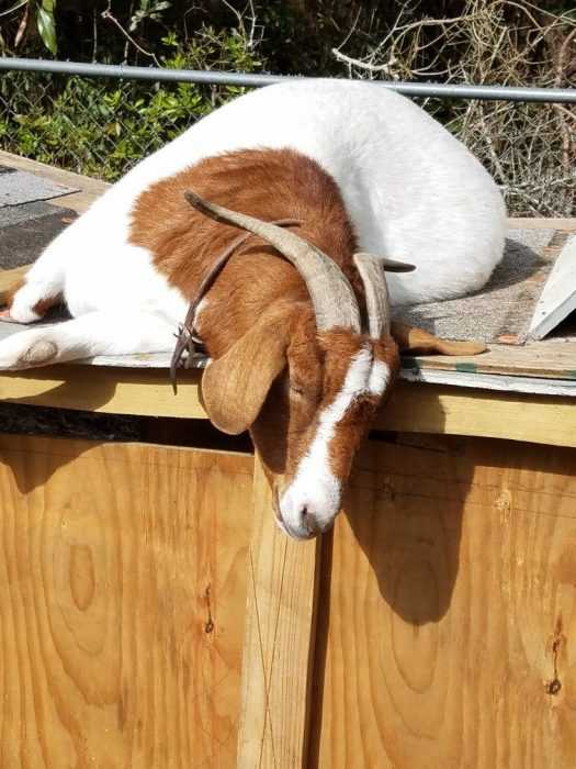 Cutest Animal Pictures - goat