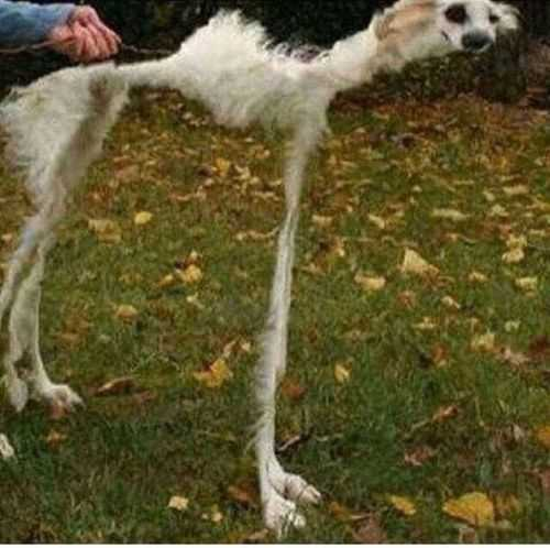 animal picture fail - really skinny and tall dog
