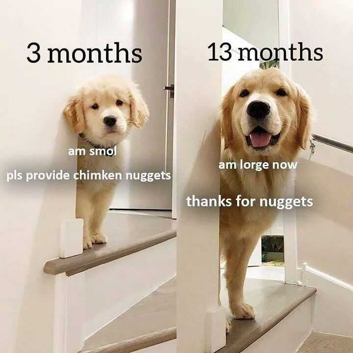 Funny Animal Memes - another golden nugget animal fan