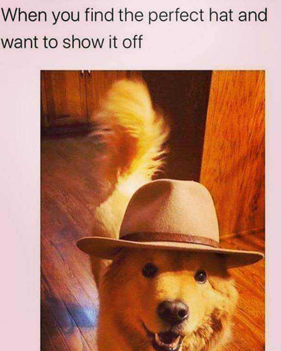 Funny Animal Memes - hat model dog