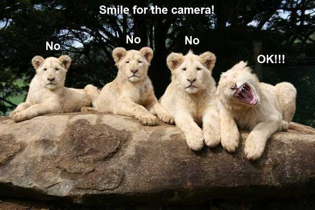 Funny Animal Memes photogenic lion