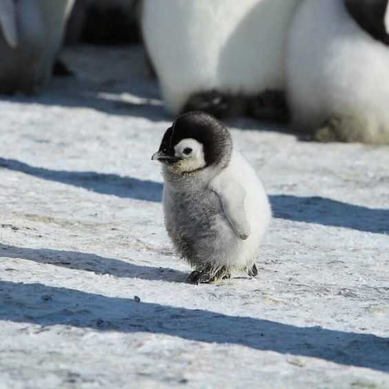 cute baby animal pictures - baby penguin