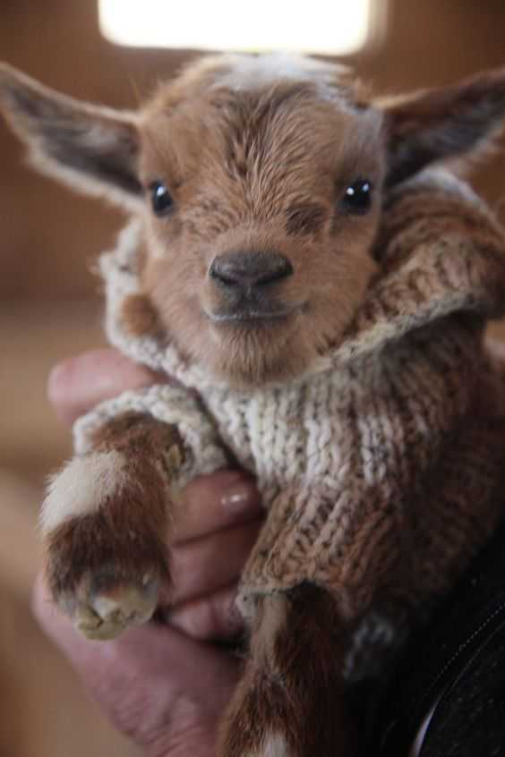 cute baby animal pictures - baby goat