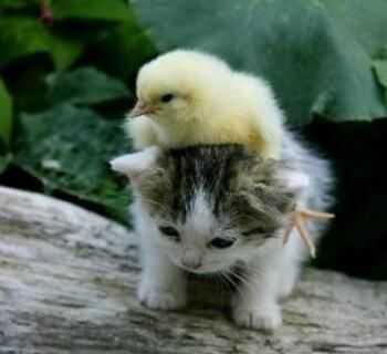 cutest baby animals - chick on kitten