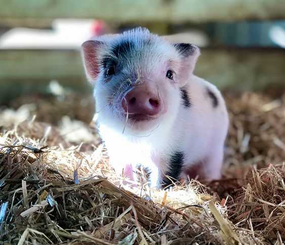 cutest baby pig pictures - baby piglet