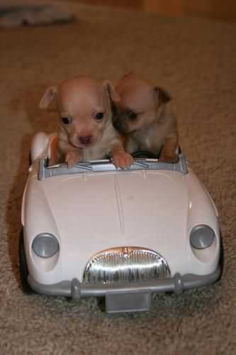cutest baby animal pictures - puppies