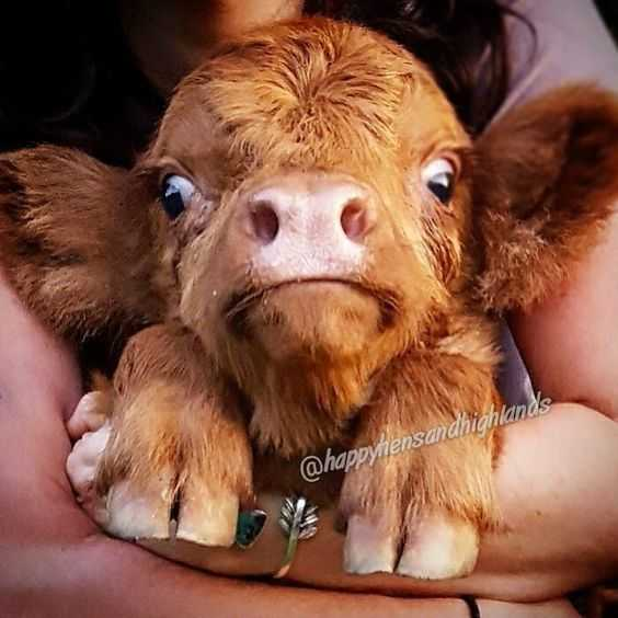 cute baby cow pictures - baby cow