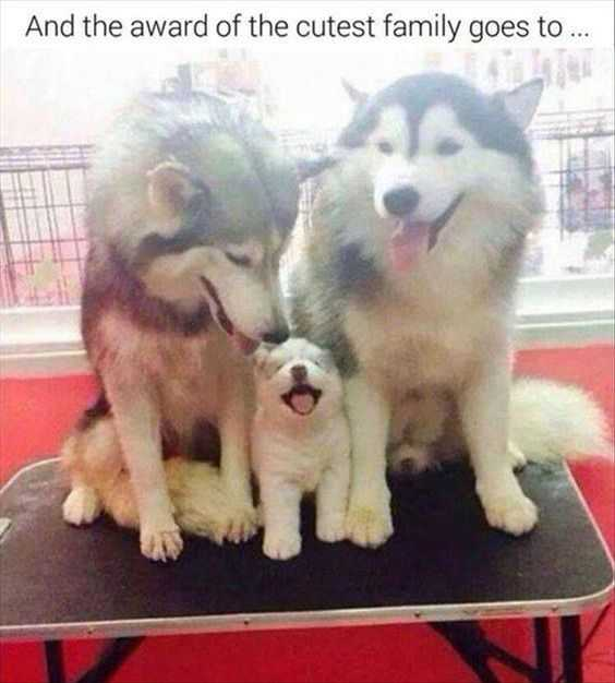 cutest baby animal pictures - baby husky