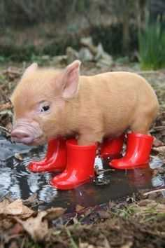 cute baby pig pictures - baby pig