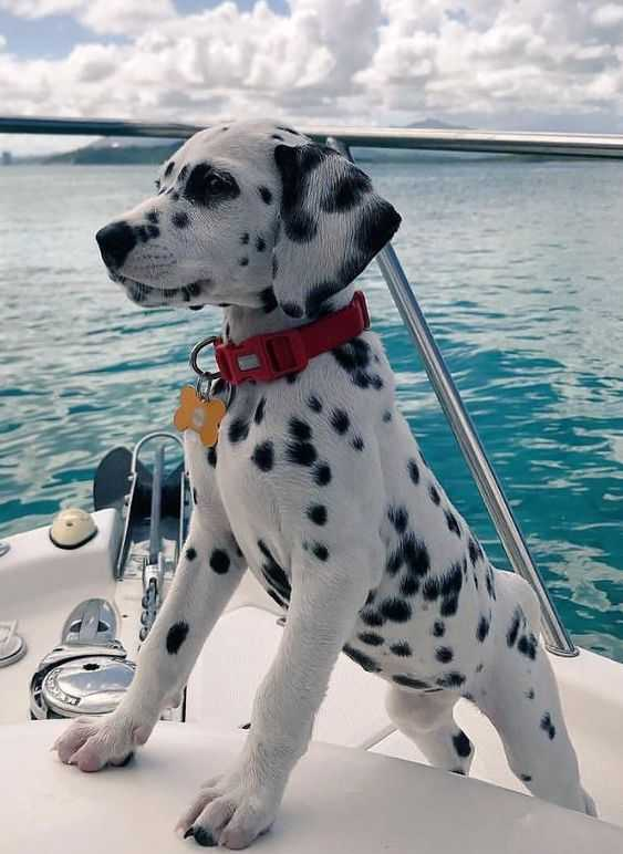 cute baby animal pictures - baby Dalmatian puppy