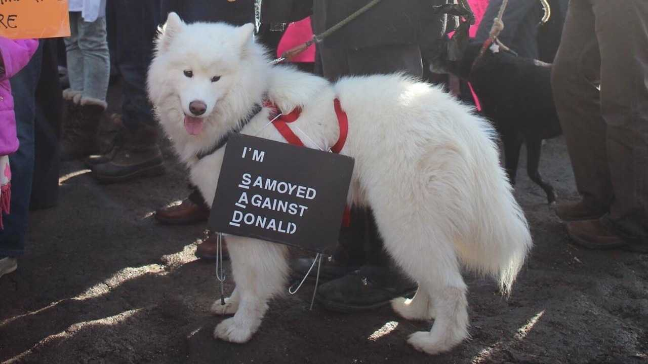 funny protest signs - samoyed against donald