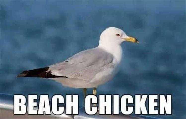 Cute Pet Memes - Beach Chicken