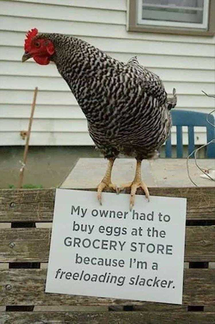 Funny Pictures Of Animals - Chicken Shaming