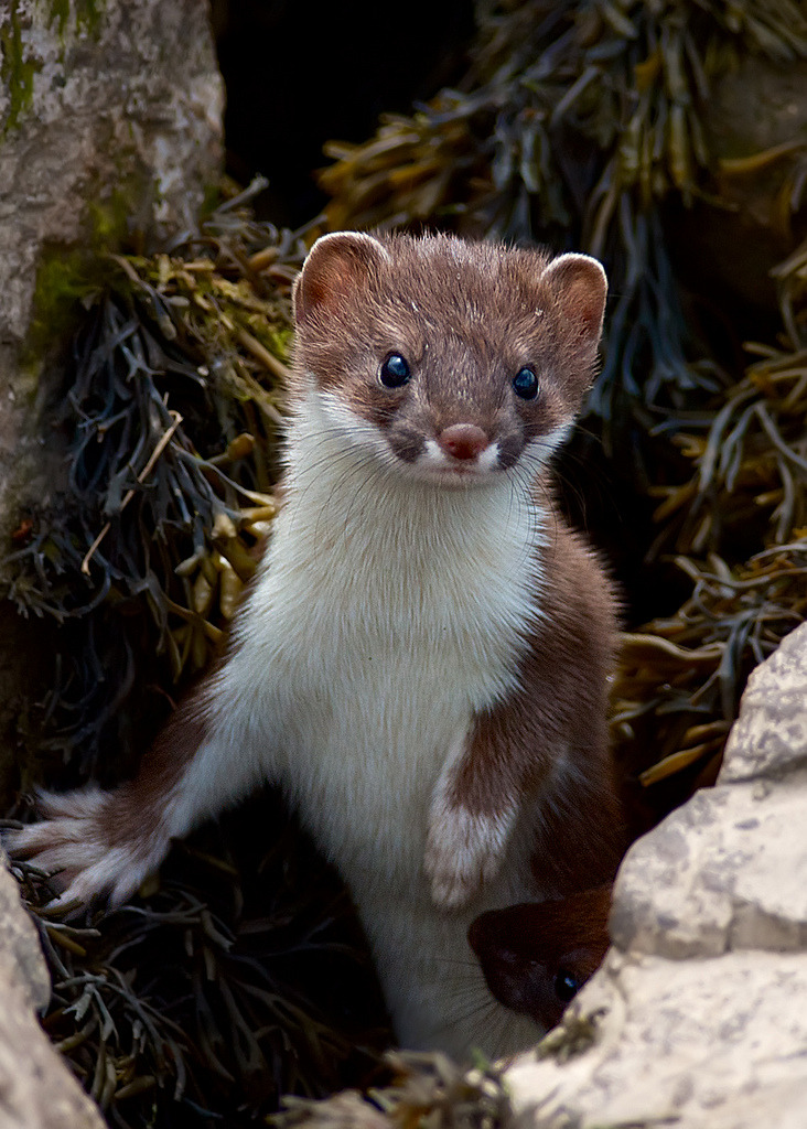 Best Stoat Pictures