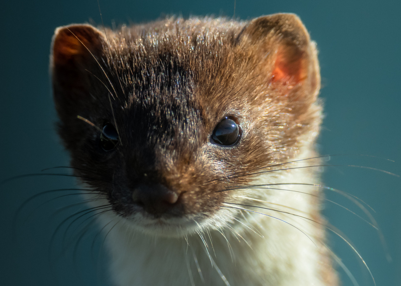 Cutest Stoat Pictures