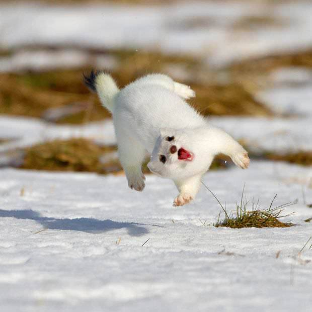 Cute Stoat Pictures