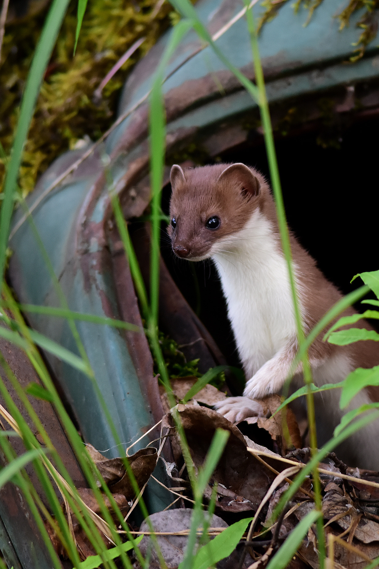 Stoat Pictures Cute