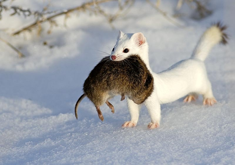 Stoat Pictures Funny