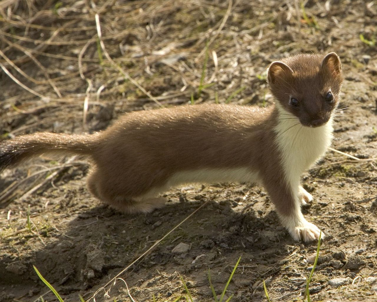 Lovable Stoat Pictures