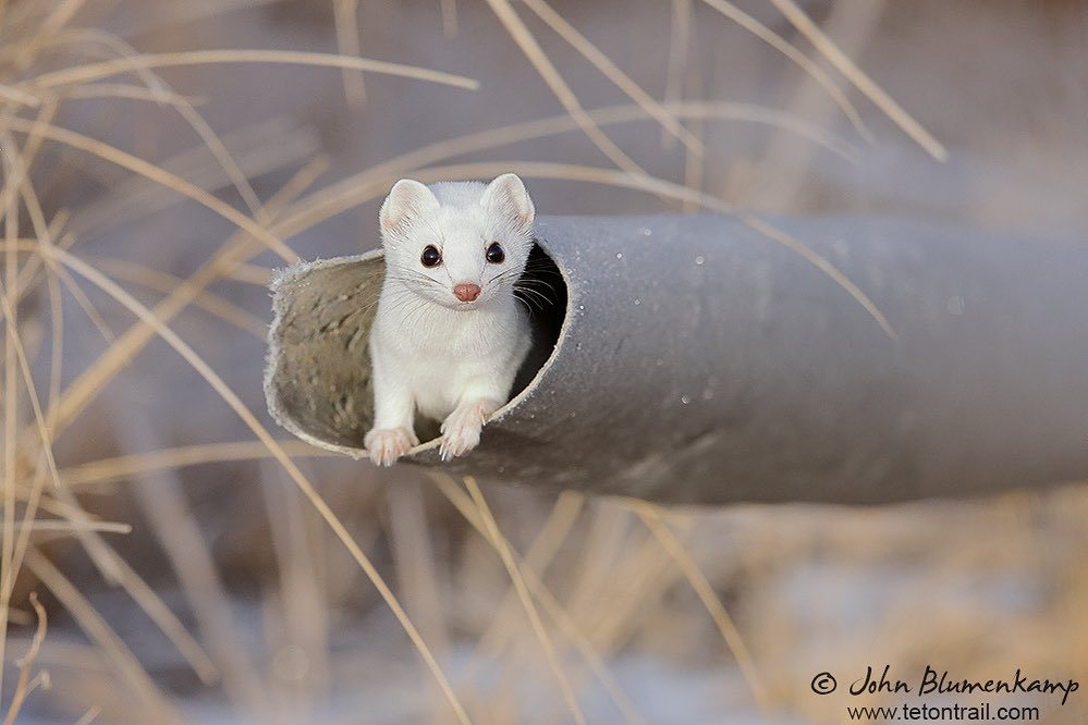 Stoat Pictures Lovable