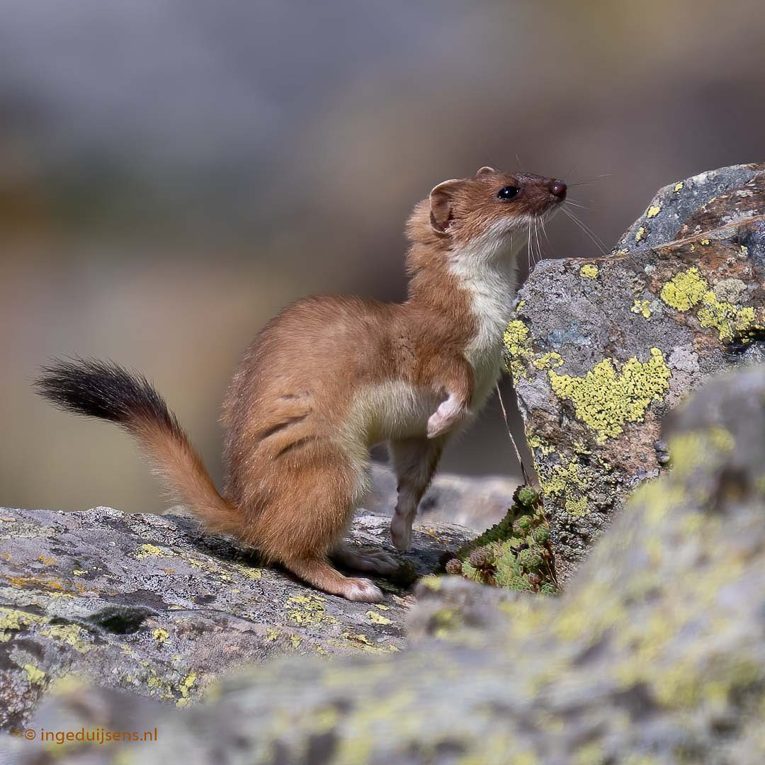 Adorable Stoat Pictures