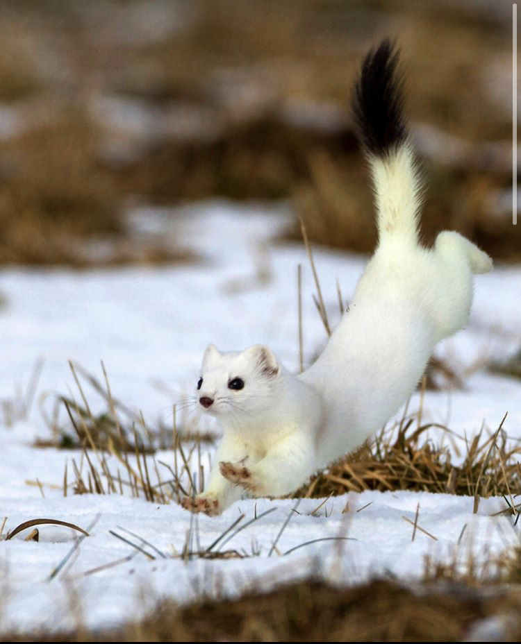 Stoat Pictures Hilarious