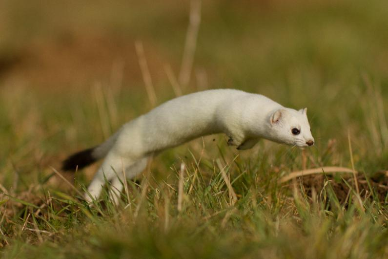 Hilarious Stoat Pictures