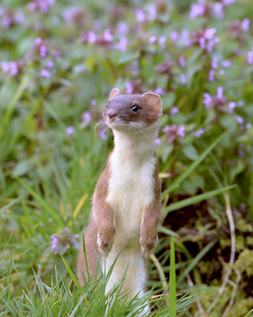 Stoat Pictures Best