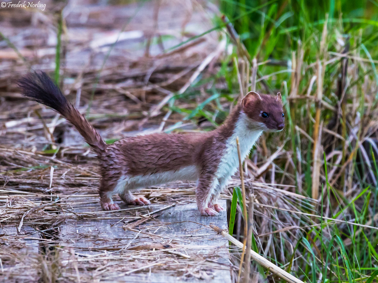 Shareable Stoat Pictures
