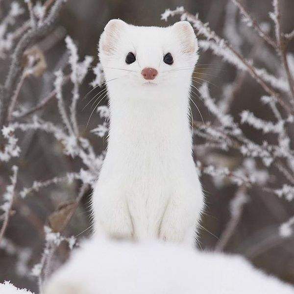 Stoat Pictures