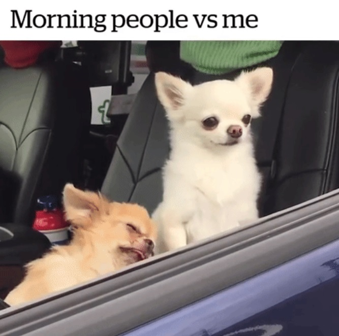 Chihuahua Memes Best