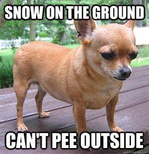 Adorable Chihuahua Memes