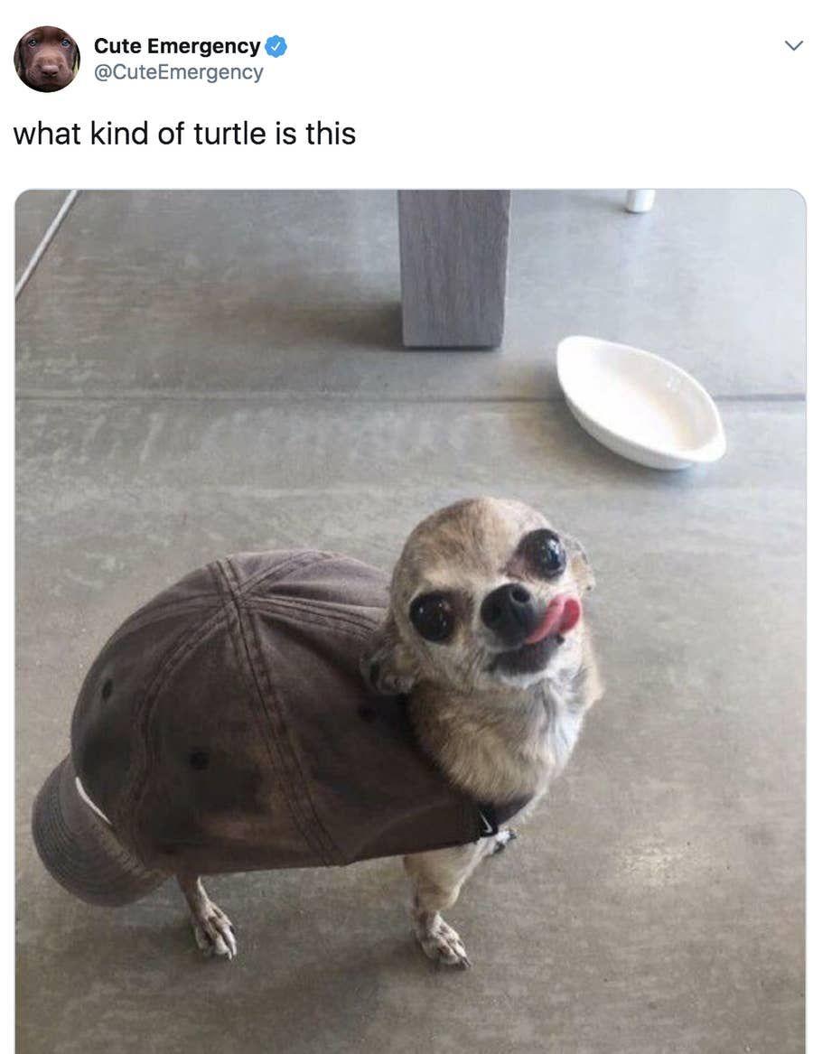 Chihuahua Memes Cute